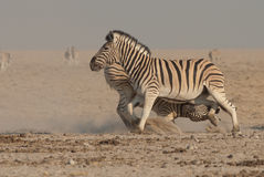 Fighting Burchell's zebra stallions. Stocky and horselike; black and white stripes with shadow stripes superimposed on white stripes; stripes extend on to under Royalty Free Stock Photos