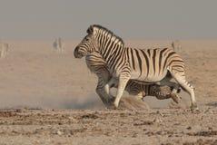 Fighting Burchell's zebra stallions Royalty Free Stock Photos