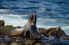 Fighting California sea lions Royalty Free Stock Photography