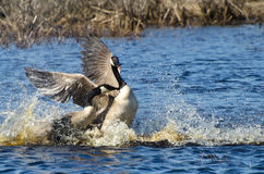 Fighting Canada Geese stock photography