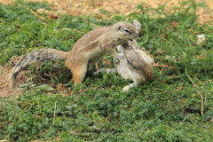 Fighting cape ground squirrels Royalty Free Stock Photos