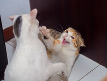 Fighting Cat. With Fangs Shown stock images