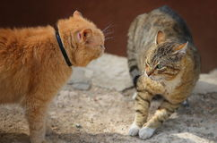 Fighting cats Stock Image