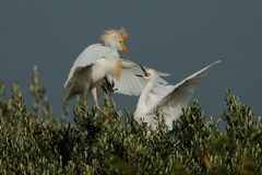 Fighting Cattle Egret. This big white birds are fighting in the trees to get the best place. They belongs to the herons Royalty Free Stock Photo