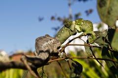 Fighting Chameleon - Madagascar Endemic Reptile Royalty Free Stock Image