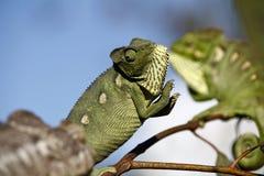 Fighting Chameleon - Madagascar Endemic Reptile Royalty Free Stock Photos