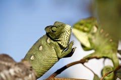 Fighting Chameleon - Madagascar Endemic Reptile. Fighting Chameleon - Rare Madagascar Endemic Reptile stock photos