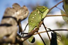 Fighting Chameleon - Madagascar Endemic Reptile. Fighting Chameleon - Rare Madagascar Endemic Reptile royalty free stock photo