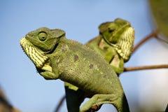 Fighting Chameleon - Madagascar Endemic Reptile. Fighting Chameleon - Rare Madagascar Endemic Reptile royalty free stock images