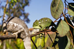 Fighting Chameleon - Madagascar Endemic Reptile Stock Photo