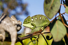 Fighting Chameleon - Madagascar Endemic Reptile Stock Image