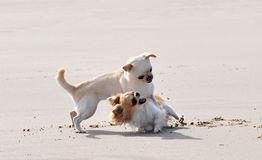 Fighting chihuahuas on the beach Royalty Free Stock Images