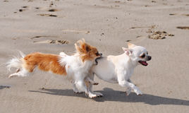 Fighting chihuahuas on the beach Stock Photos