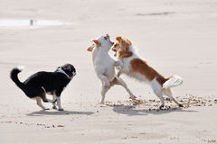 Fighting chihuahuas on the beach Stock Photo