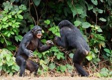 Fighting  Chimpanzee Stock Image