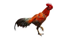 Fighting cock isolated royalty free stock images