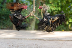 Fighting cocks in a vicious attack Royalty Free Stock Images