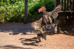 Fighting cocks in a vicious attack Stock Photography