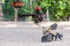 Fighting cocks in a vicious attack Stock Photo