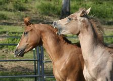 Fighting Colts. Two yearling arabian stud colts playing rough Royalty Free Stock Photography