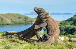The Fighting Comodo dragons. Varanus komodoensis for domination. It is the biggest living lizard in the world. Island Rinca. Indonesia royalty free stock image