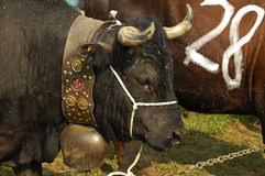 Fighting cow Royalty Free Stock Photography