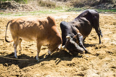 Fighting cow attacks on battle field. Traditional cow fighting royalty free stock images