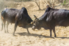 Fighting cow attacks on battle field. Traditional cow fighting stock image