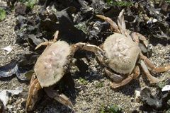 Fighting Crabs Royalty Free Stock Images