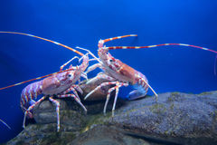 Fighting crayfish - focus is on left Royalty Free Stock Images