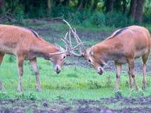 Fighting deer Royalty Free Stock Images