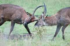 Fighting deers Royalty Free Stock Images