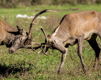 Fighting deers stock image
