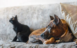 Fighting dog and a black cat resting on sofa royalty free stock photo
