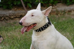 Fighting dog Bull Terrier Breed Royalty Free Stock Image
