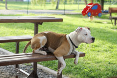 A fighting dog lies on a bench. A fighting dog is lying on a bench on a playground Royalty Free Stock Photos