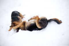 Fighting dogs. Dog fighting in the cold time of year in the snow Royalty Free Stock Photography
