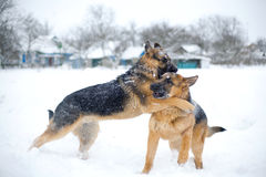 Fighting dogs. Dog fighting in the cold time of year in the snow Stock Photo