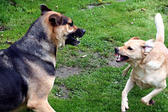 Fighting dogs. Two dogs snarling and fighting with each other outside Stock Photo