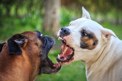 Fighting dogs. Dogs barking at each other, showing fangs royalty free stock image