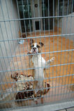 Fighting dogs in a cage royalty free stock images