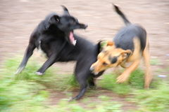 Fighting Dogs. Two small dogs fighting outdoor. Out of focus shot to express sense of motion and of fight Stock Photos
