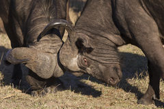 Fighting for dominance. Two big bull cape buffalo fighting over female buffalo in Mala Mala South Africa Royalty Free Stock Image