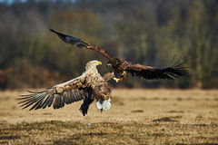 Fighting between eagles Stock Photography