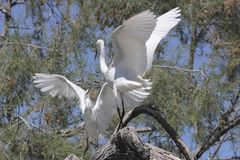 Fighting egrets in a tree Stock Photos