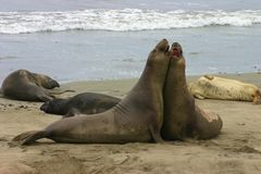 Fighting Elephant Seals. Two Elephant Seals fight on the beach Stock Image
