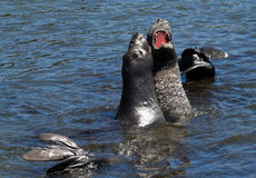 Fighting Elephant Seals Stock Images