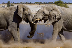 Fighting elephants Stock Image