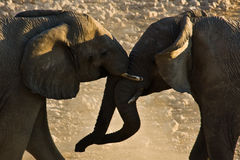 Fighting Elephants #2. Elephants fighting in Etosha National Park, Namibia Stock Image