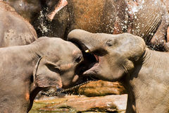 Fighting elephants Royalty Free Stock Photos